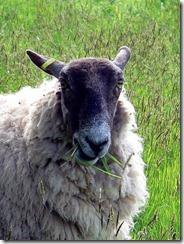 s_sheep3
